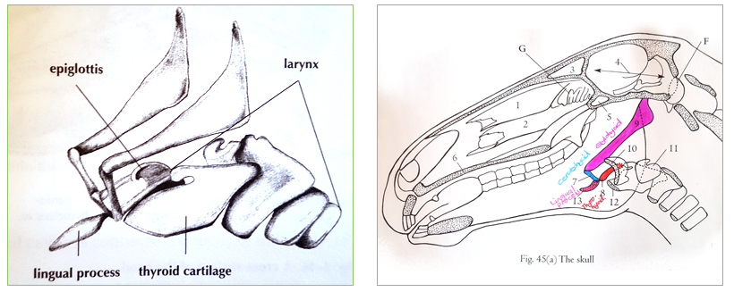 The Role Of The Tongue And Hyoid In Equine Movement Blog