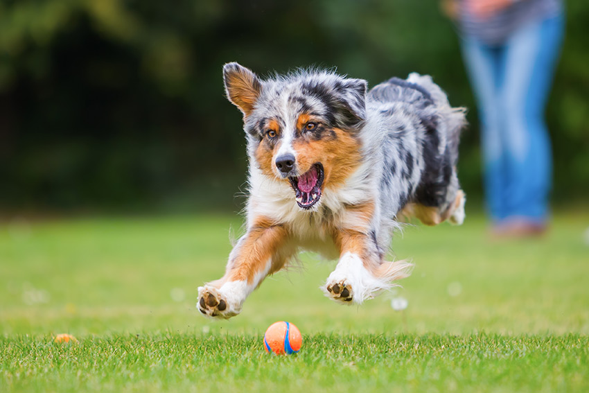 Supraspinatus and Biceps Tendinopathies in Dogs