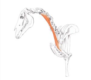 Omotransversarius Muscle equine
