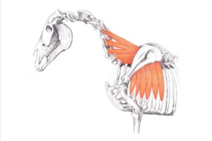Serratus Ventralis equine muscle